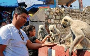 A pilgrim offers nuts to monkeys near Mansa Devi temple in Haridwar. Uttarakhand accounts for nearly 2 lakh monkeys. Simian attacks are often reported from cities and rural areas in the hill state.
