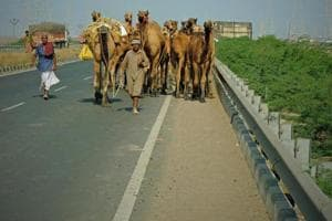 On a state highway near Bhuj. Across semi-arid regions in Gujarat, Rajasthan and Haryana, nomadic herders are struggling. They traditionally sold their camels at fairs, but there are few takers in a tractor and truck world. Growing villages, mining and government restrictions have shrunk grazing lands as well.