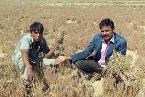 Farmers show crops destroyed by rain and hailstorm in Rajasthan.