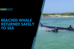 Watch: Beached whale returned to sea safely in Gulf of Mexico