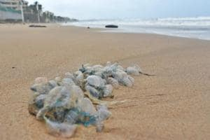 Lifeguards and marine experts have reported over 100 bluebottle stings on the Girgaum Chowpatty, Aksa, Juhu, and Versova beaches since last Friday.