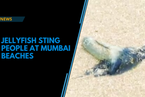 Watch: Venomous jellyfish spotted at Mumbai beaches, several people suffer...