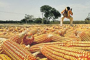India produces more than 20 million tonnes of maize every year, with the highest area under cultivation in Karnataka.