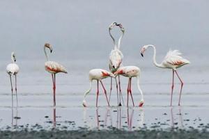 Photos:Rajasthan's Sambhar salt lake welcomes flamingos