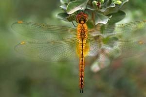 Dragonfly at PAU botanical garden, November 26, 2017.