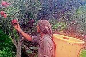 Italy-based Vitafruit Nurseries has written to the Himachal government that the plants were purchased in an unfavourable season.