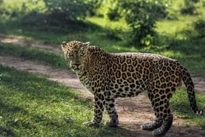 The last time a leopard was spotted inside Asola Bhatti Sanctuary was on February 18 on Delhi's side. The Asola Bhatti Sanctuary has around 18 mammal species, 240 birds, 95 butterfly, and 26 reptiles and amphibians.