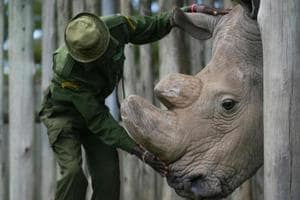 A major focus for the 1.1 million pound initiative is the endangered black rhino, a species successfully bred in captivity at Chester Zoo in recent years and whose excrement is a source of useful data to understand the health of the animal.