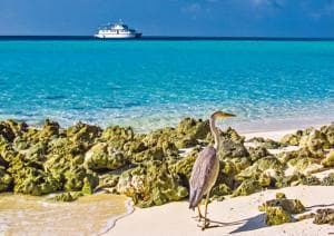 The grey heron is a captivating sight in the Maldives