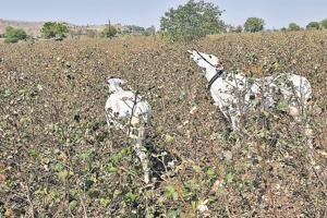 A cotton farm in Maharashtra's Amravati. Cotton farmers in the state's Vidharbha and Marathwada regions lost more than half their standing crop to a pink bollworm attack.