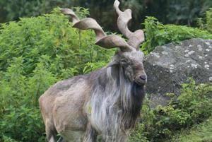 Markhor is the national animal of Pakistan and is found on both sides of the LoC.