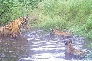 Sariska Tiger Reserve's  chief conservator of forest said ST­12 was captured on a camera trap with her three cubs in the Talvriksh forest range.