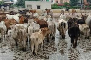 Cows at a waterlogged transit camp in Bharatpur.