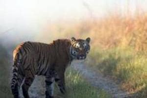 This undated photo released by Corbett Tiger Reserve, shows a tiger at the Corbett Tiger Reserve in Corbett National Park, Uttarakhand. The state HC ordered a probe into 'official complicity' in poaching cases following a petition by an NGO regarding seizure of tiger skins in 2016. The tigers were reportedly from the reserve an adjoining areas.