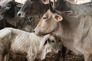 Trinamool Rajya Sabha member Manas Bhunia has claimed that more than 350 cows have died in Bural, Bishnupur, Bhemua and Mohar gram panchayat areas.