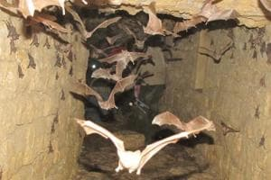 Mouse-tailed bats roost in an urban drainage tunnel in Jaisalmer.