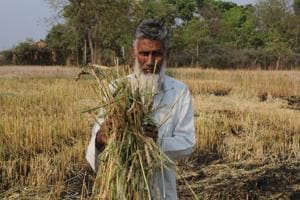 Exchange of seeds by farmers along Indo-Bangla border in Bengal fuels wheat blast