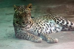 The Raipur zoo's response is that the leopards are the same, but they were just marked with the wrong microchips.