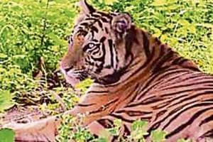 Sundari was brought from Madhya Pradesh's Bandhavgarh reserve. (HT Photo)