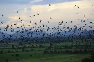 Wrinkle-lipped Free-tailed bats swarm over rice fields in central Thailand to prey on insect pests.