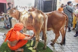 Baba Ramdev milks a cow during the launch of Patanjali's dairy products in New Delhi.