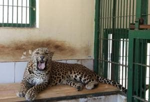 The leopard, Bhandara, at the rescue centre.