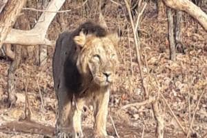 Officials said Dalkhaniya range has a stable pride of 22 lions, whereas another 15 were seen in this range periodically in the last four years.