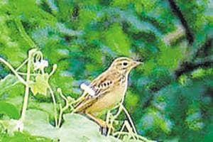 A photo of Blyth's pipit, which is among the many migratory birds that have already been spotted in Noida.