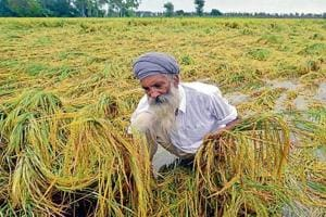A farmer at Verka in Amritsar checking his paddy crop that was flattened by heavy rain.