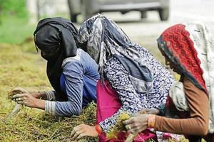 Workers plant grass to help develop a dust-free zone in Phase 2 area, Noida.