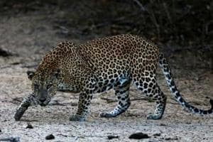Another leopard has created terror in Bageshwar district. There it killed a four-year girl in on September 3. The incident created panic in the area, with people demanding that the leopard be declared a man-eater and killed.