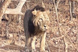 A male lion seen at Gir National Park.