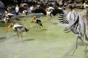 A Sarus Crane stands tall among painted storks at the Chhatbir zoo.