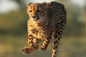 An adult Cheetah on the run at the Kruger National Park.