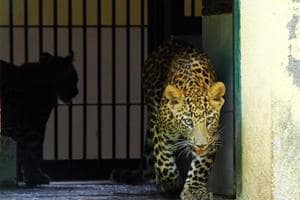 The Uttarakhand HC has ordered an inquiry against the divisional forest officer  of Bageshwar for violations during the rescue operation of an injured leopard. (Photo used for representational purpose only)