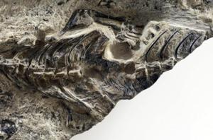 In a photo provided by MUSE -- Science Museum, the fossil of Megachirella, a 240 million-year-old lizard, found in the Italian Alps.