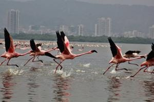 The number of Flamingos decreases at Kopri creek due to illegal dumping.