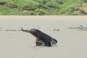 In a recent survey conducted by WWF-India and UP forest department, the population of Gangetic Dolphins has increased from 22 in 2015 to 33 in 2018 at a 200km stretch of river Ganga from Bijnor to Narora in western UP.