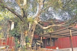 The majestic peepal at the community centre in Sector 27 is among the 30 heritage trees notified by the UTadministration.