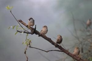 House sparrow spotted in a bio-diversity park in Gurugram.