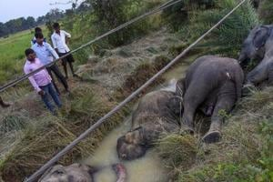 The carcasses of elephants which died of electrocution after coming in contact with a sagging live wire near Kamalanga village in Dhenkanal district of Odisha on Saturday.