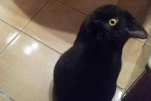 What do you see -  a crow or a cat?