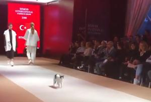 The cat 'headlined' a recent fashion show in Turkey