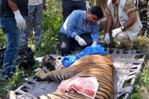 A male tiger ST6 being treated in Sariska Tiger Reserve.