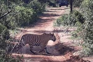 The tiger is India's national animal and is categorised as a 'Schedule One' species of endangered animals under the Wildlife Protection Act.