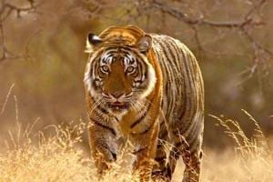 About two months ago, the Odisha forest department had confirmed the presence of a Royal Bengal tiger in Debrigarh with the help of camera traps installed at different locations.