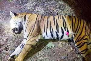 here was no registered veterinary practitioner involved in charge of the operation for effective tranquillization, relocation and revival of tigress T-1.