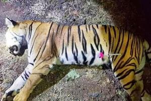 Photo released by the Maharashtra Forest Department on November 3 shows the dead body of Avni, the tiger known to hunters as T1 after being shot in the forests of India