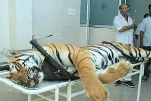 This picture taken on November 3, 2018 the body of the man-eating tigress T1 at a post mortem room at Gorewada Rescue Centre in Nagpur.