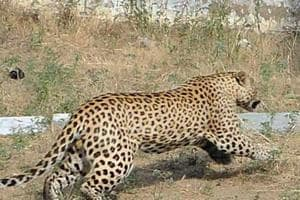 It appeared that the leopard had come to village from a nearby forest after taking the Yamuna bank route